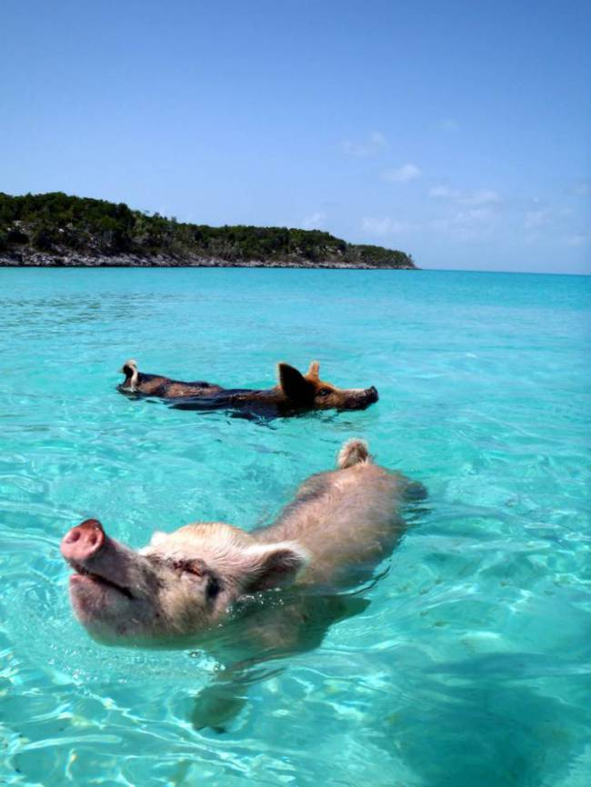 Pig beach - courtesy of Flickr
